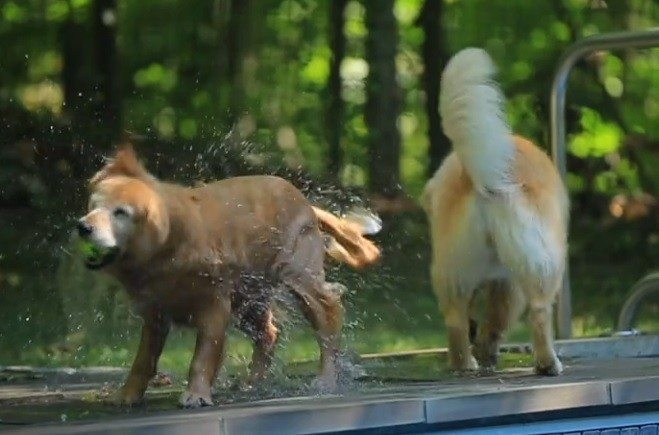 Realtor lets pair of golden retrievers sell their owners' home