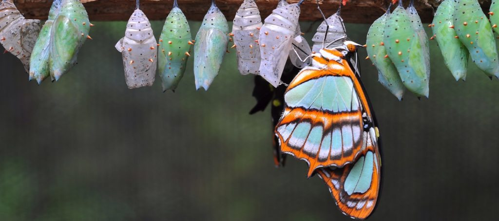 A butterfly emerging from a row of chrysalises.