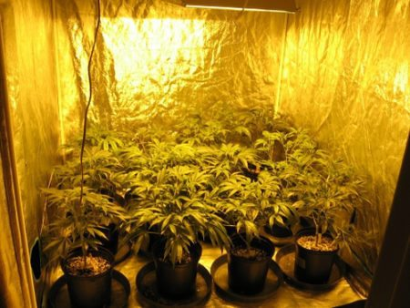 Medicial marijuana plants in grow room at