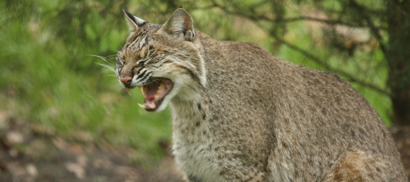 Realtor's video of bobcat vs. rattlesnake fight goes viral