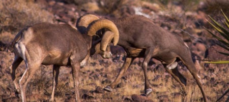 The real estate bighorn sheep fight