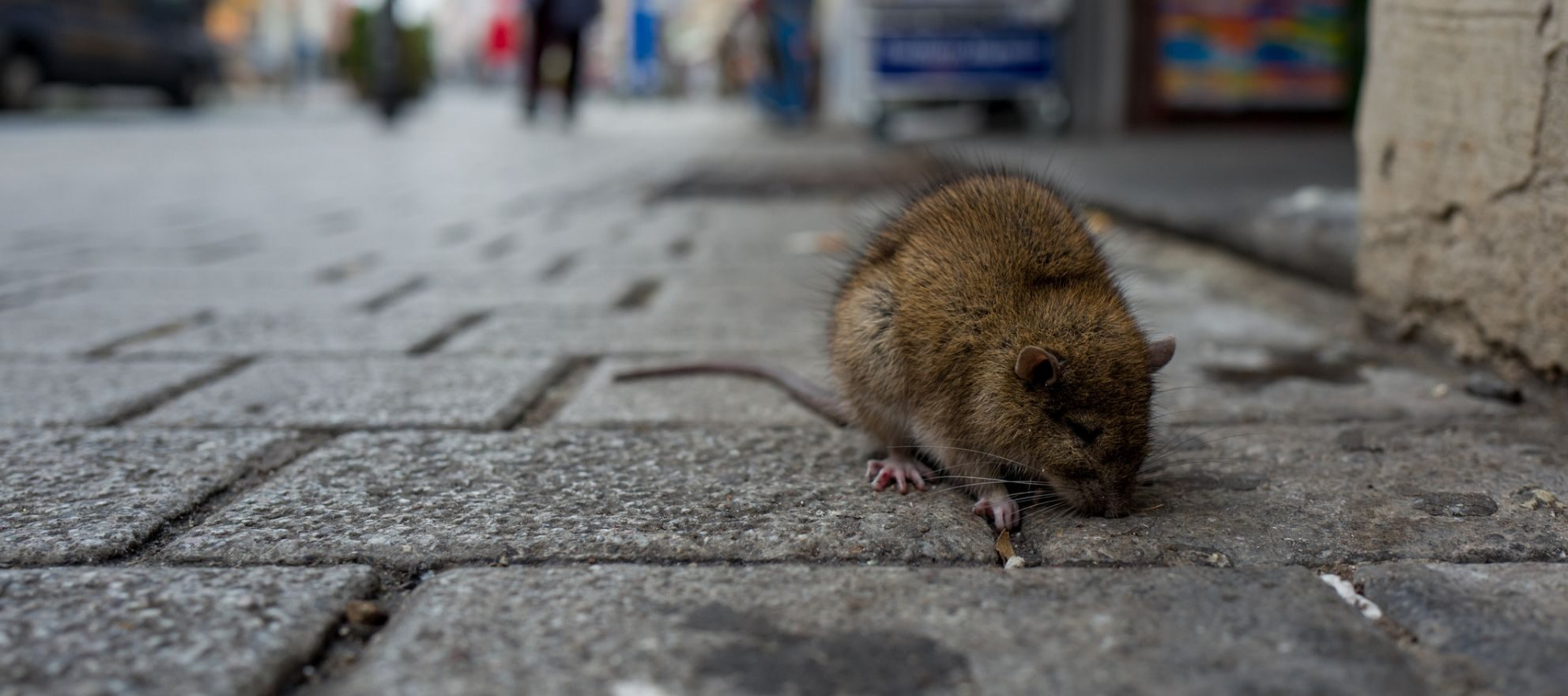 Which American city has the most rats? (Hint: It's not Baltimore)